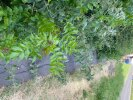 Nettles and brambles require cutting back from the pathway